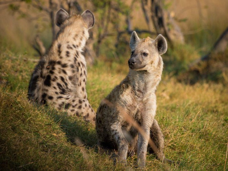 A pair of hyenas keep a watchful eye on their surroundings. All bases seem to be covered.