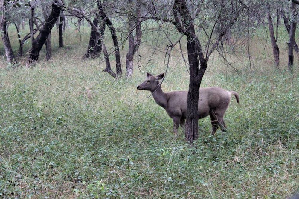 A Sambar deer
