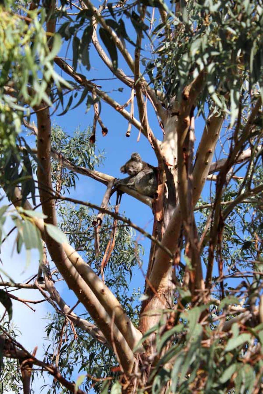 Spot the koala