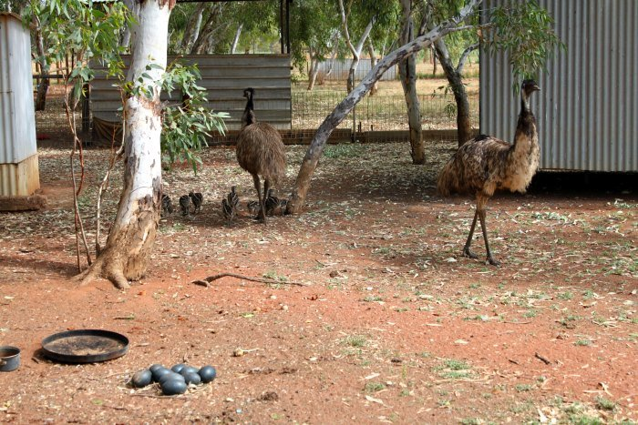 Emus with their chicks and eggs