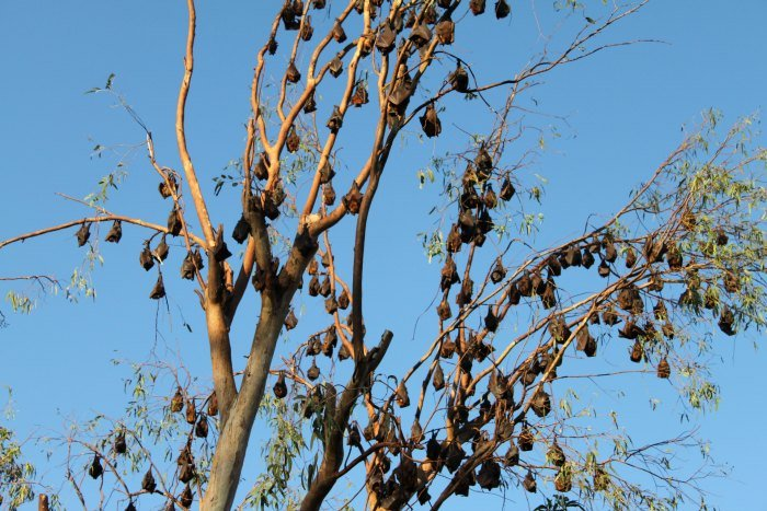 Trees full of fruit bats