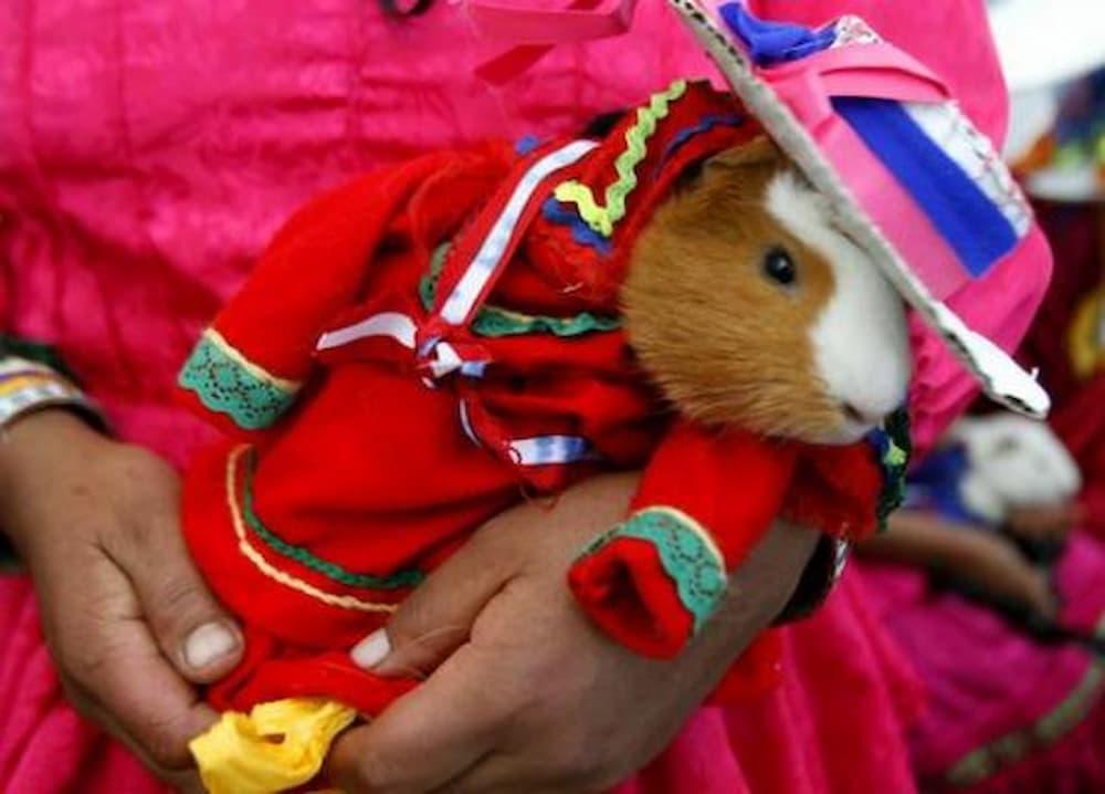 Guinea pig festival