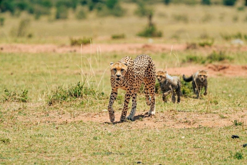 A family of cheetahs