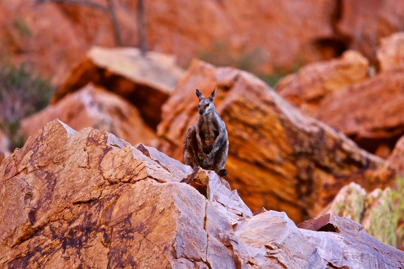 A tiny rock wallaby