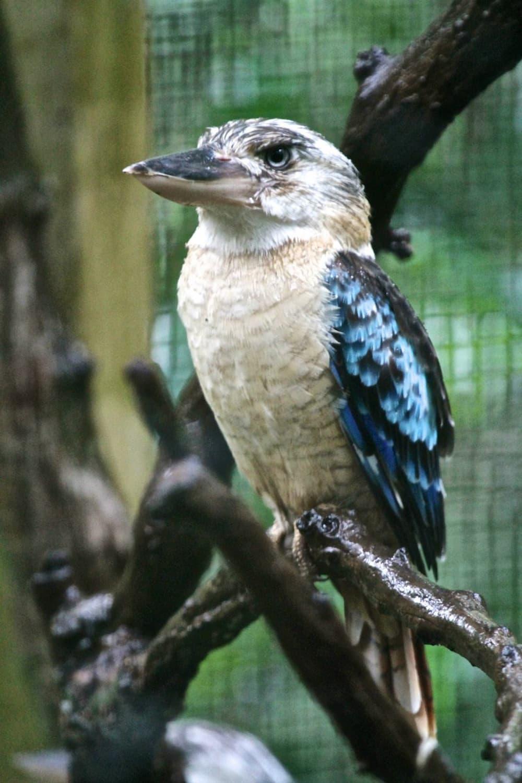 An iconic kookaburra