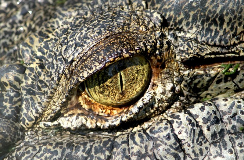 Salt water crocodile eye