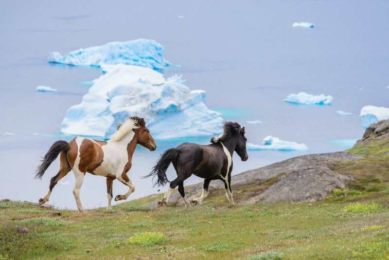 Wild horses running in front of the iceberg in South Greenland