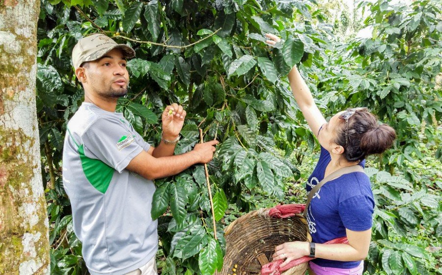 Picking the coffee cherries