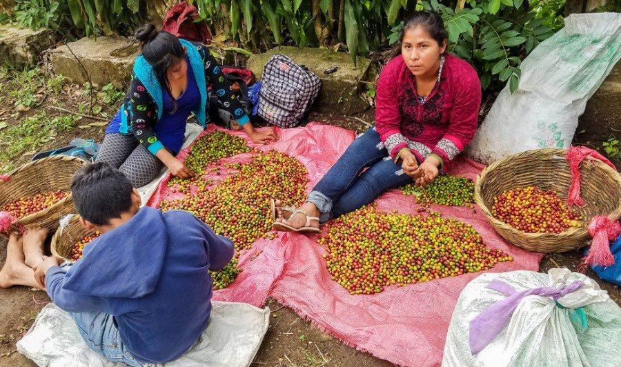 Sorting the coffee cherries